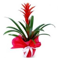 Saksı Çiçeği Guzmanya