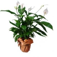 Spatifilyum Saksı Çiçeği