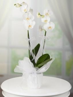 Beyaz Çiftli Orkide Saksı
