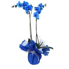 Mavi Orkide 2 Dal