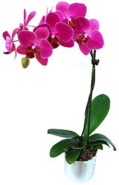 Saksıda Pembe Orkide