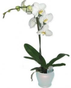 Saksıda Beyaz Orkide